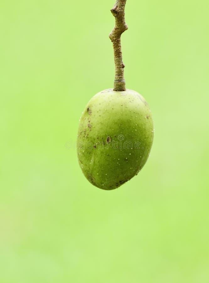 Download Olive stock photo. Image of flora, natural, floral, season - 26034360