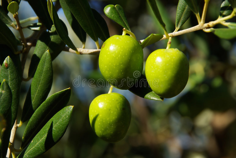 Olive 35 stock images