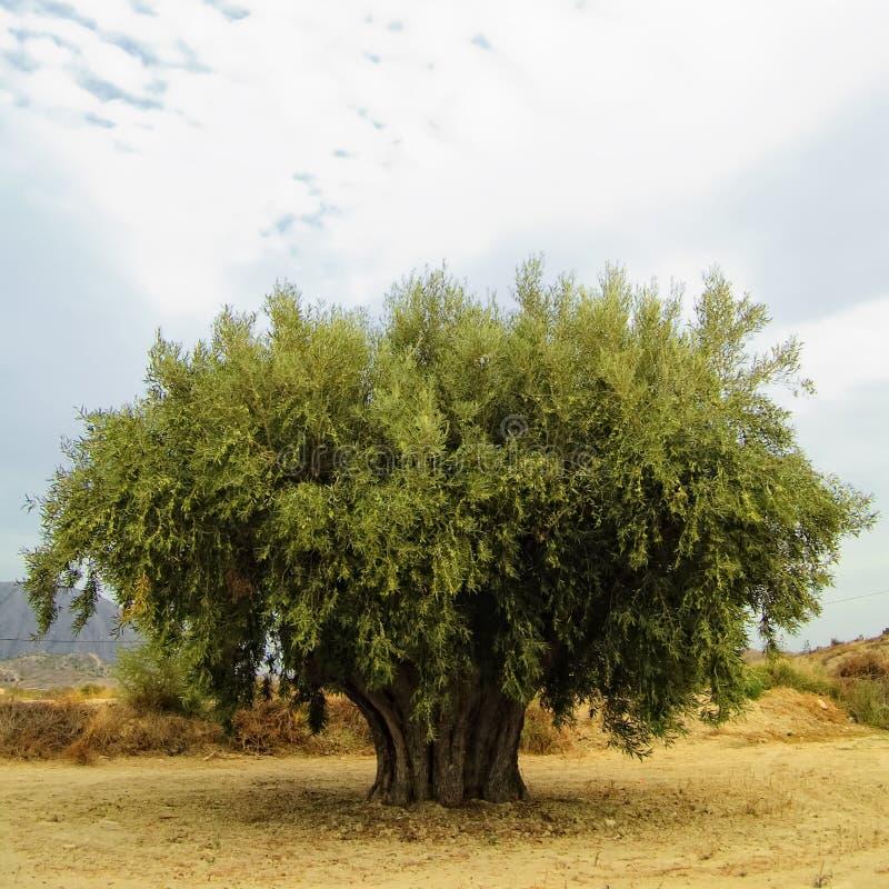 olive, obraz stock