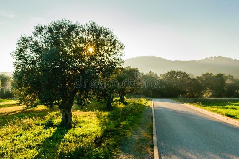 Olive-arbre gentil à côté d'une route de campagne pavée dans un beautifu photographie stock