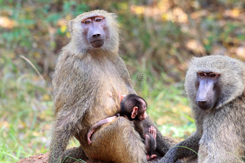 Olive Baboon fotos de stock royalty free