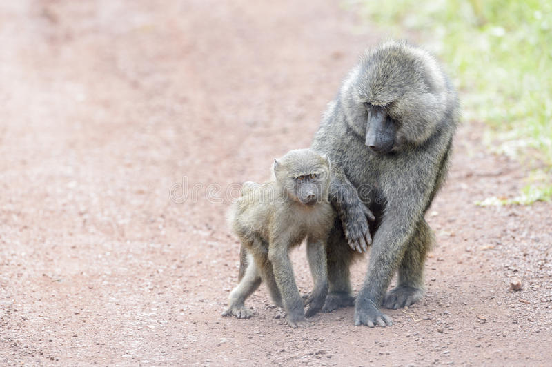 Olive baboon with baby stock photos