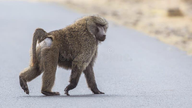Olive Baboon Crossing Road immagine stock libera da diritti