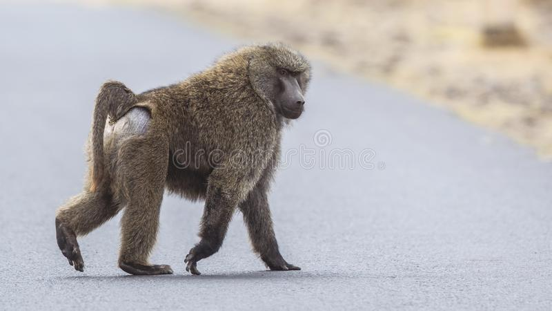 Olive Baboon Crossing Road royalty-vrije stock afbeelding