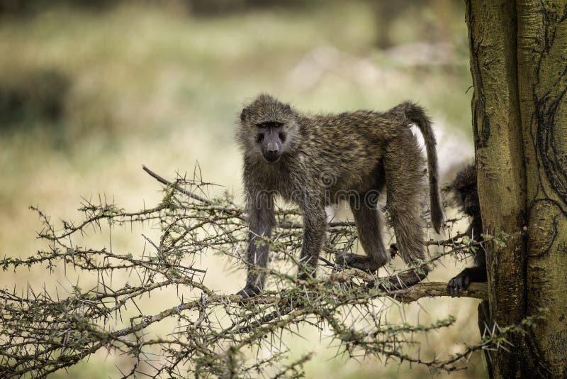 Olive Baboon in einem Fieberbaum am See Nakuru Kenya Africa stockbild