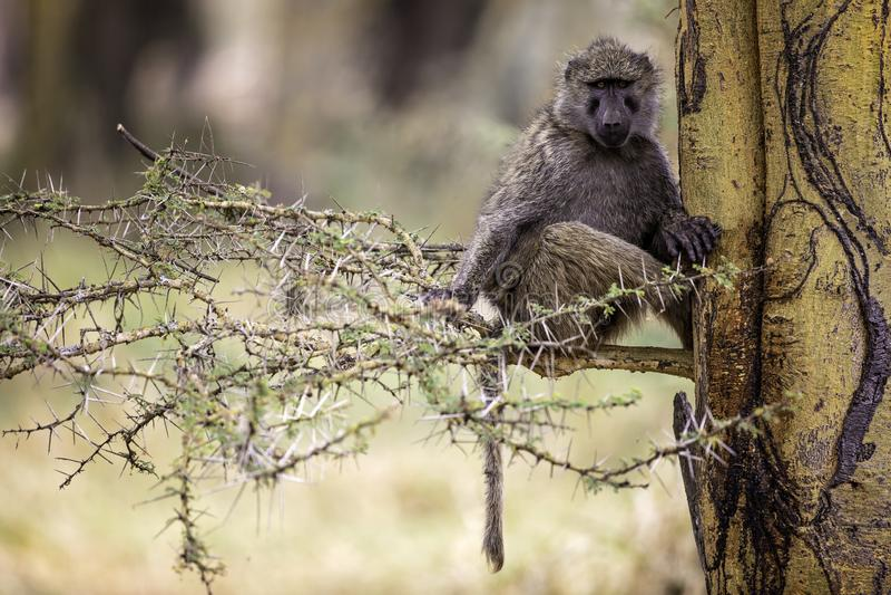 Olive Baboon em uma árvore de febre no lago Nakuru Kenya Africa fotografia de stock royalty free