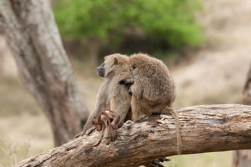 Olive Baboon family sitting on log royalty free stock photos
