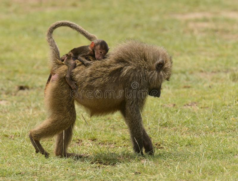 Olive Baboon giving youngster a ride. Papio anubis in Lake Manyara National park, Tanzania royalty free stock images
