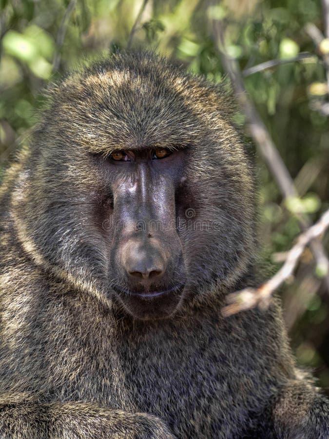 Olive baboon, Papio anubis, lives at Awash waterfalls, Ethiopia. The Olive baboon, Papio anubis, lives at Awash waterfalls, Ethiopia stock image