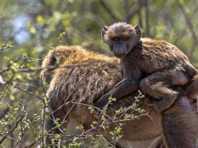 Olive baboon, Papio anubis, lives at Awash waterfalls, Ethiopia. The Olive baboon, Papio anubis, lives at Awash waterfalls, Ethiopia royalty free stock photography