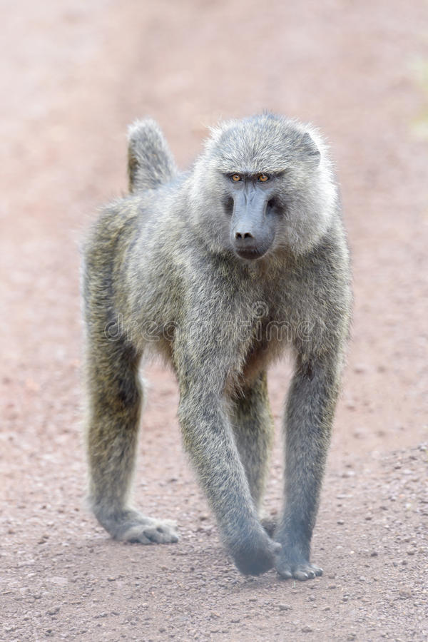 Olive baboon walking on the ground stock images
