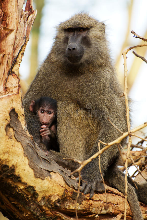 Free Olive Baboon With A Young One Stock Photo - 29584440