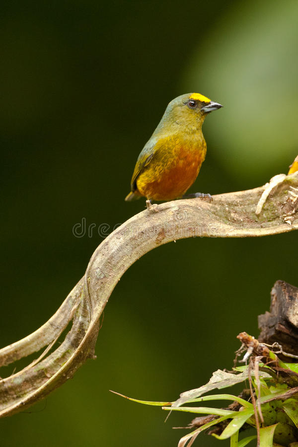 Download Olive Backed Euphonia stock photo. Image of male, backed - 28300448