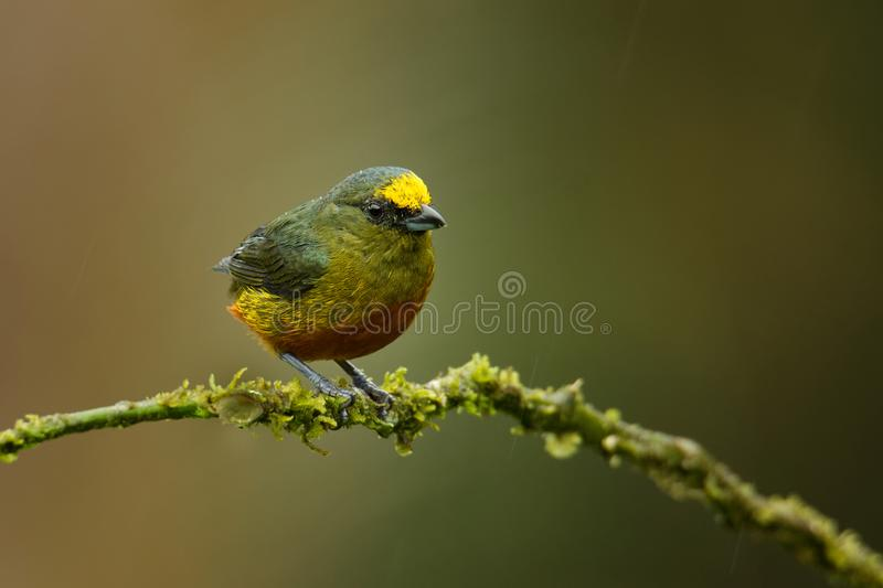 Olive-backed Euphonia - Euphonia gouldi small passerine bird in the finch family, resident breeder in the Caribbean lowlands and. Foothills from southern Mexico stock image