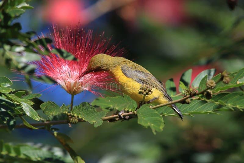 Olive-Backed Sunbird (Cinnyris jugularis) Rainforest, Queensland, Australia. Olive-backed sunbird (Cinnyris jugularis) Daintree Rainforest royalty free stock image