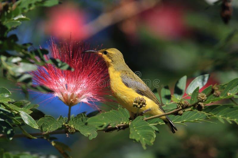 Olive-Backed Sunbird (Cinnyris jugularis) Rainforest, Queensland, Australia. Olive-backed sunbird (Cinnyris jugularis) Daintree Rainforest stock photography