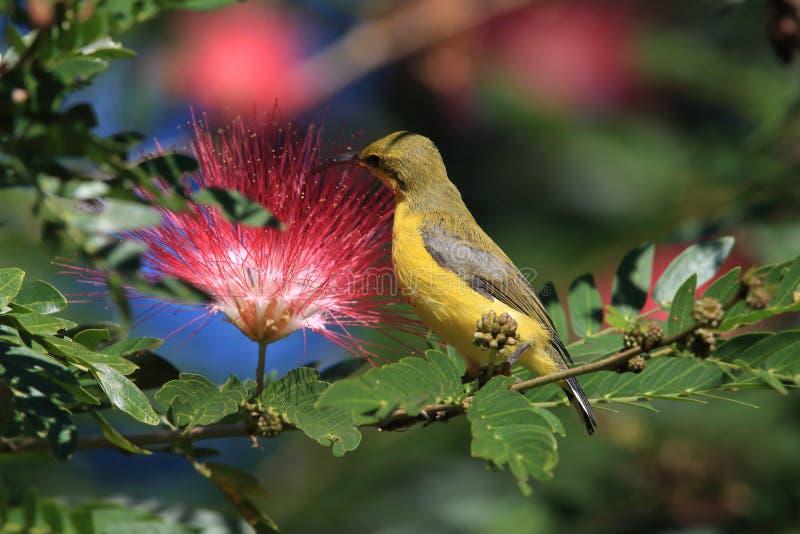 Olive-Backed Sunbird (Cinnyris jugularis) Rainforest, Queensland, Australia. Olive-backed sunbird (Cinnyris jugularis) Daintree Rainforest royalty free stock photos