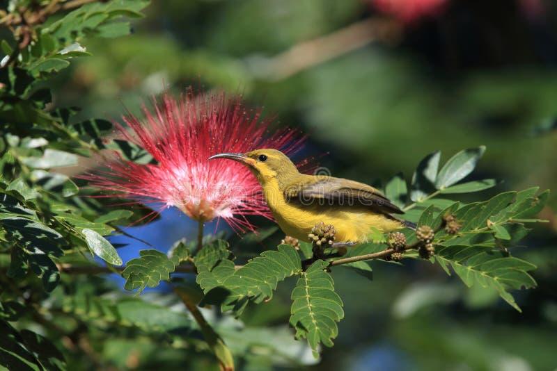 Olive-Backed Sunbird (Cinnyris jugularis) Rainforest, Queensland, Australia. Olive-backed sunbird (Cinnyris jugularis) Daintree Rainforest royalty free stock photography