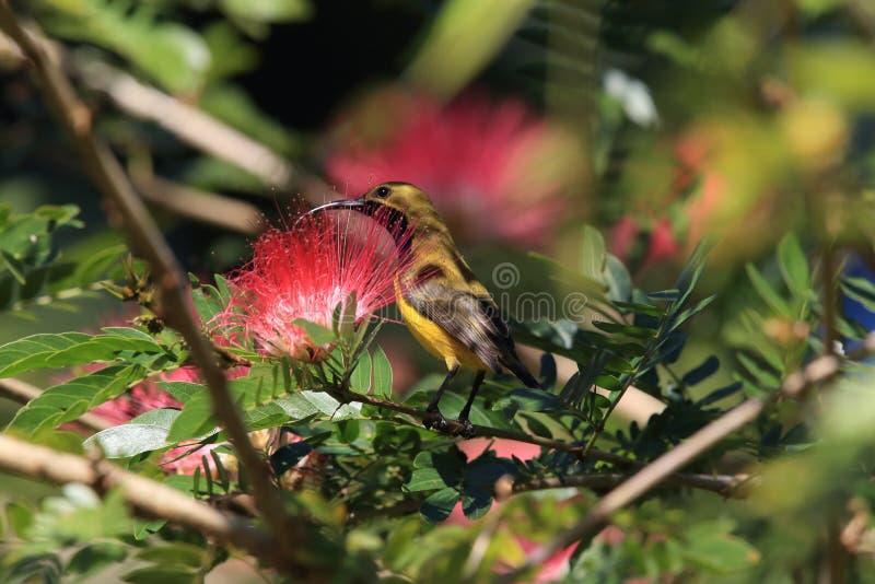 Olive-Backed Sunbird (Cinnyris jugularis) Rainforest, Queensland, Australia. Olive-backed sunbird (Cinnyris jugularis) Daintree Rainforest stock image