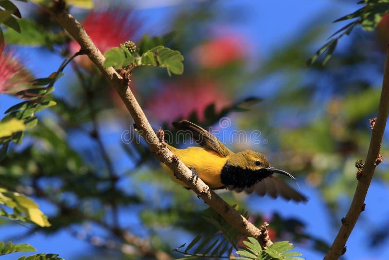Olive-Backed Sunbird (Cinnyris jugularis) Rainforest, Queensland, Australia. Olive-backed sunbird (Cinnyris jugularis) Daintree Rainforest stock images