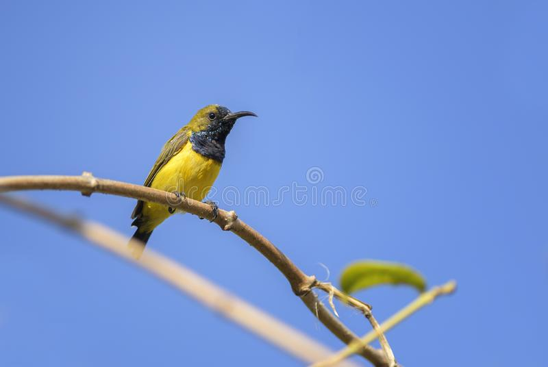 Olive-backed Sunbird - Cinnyris jugularis stock photo