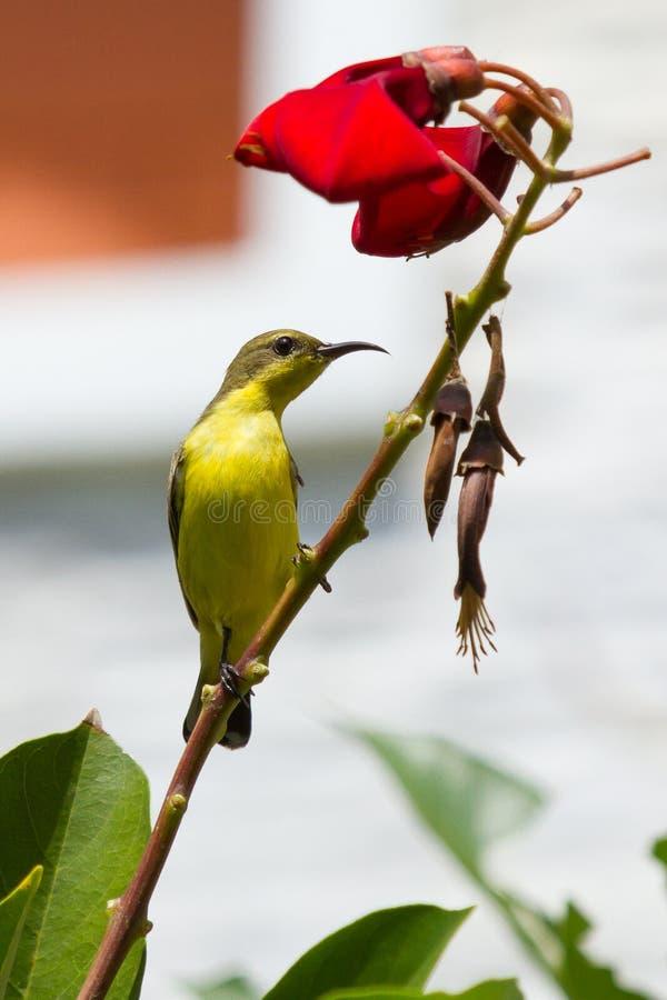 Olive Backed Sunbird - Wijfje stock foto's