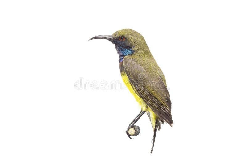 Olive-backed sunbird, Yellow-bellied sunbird stock image