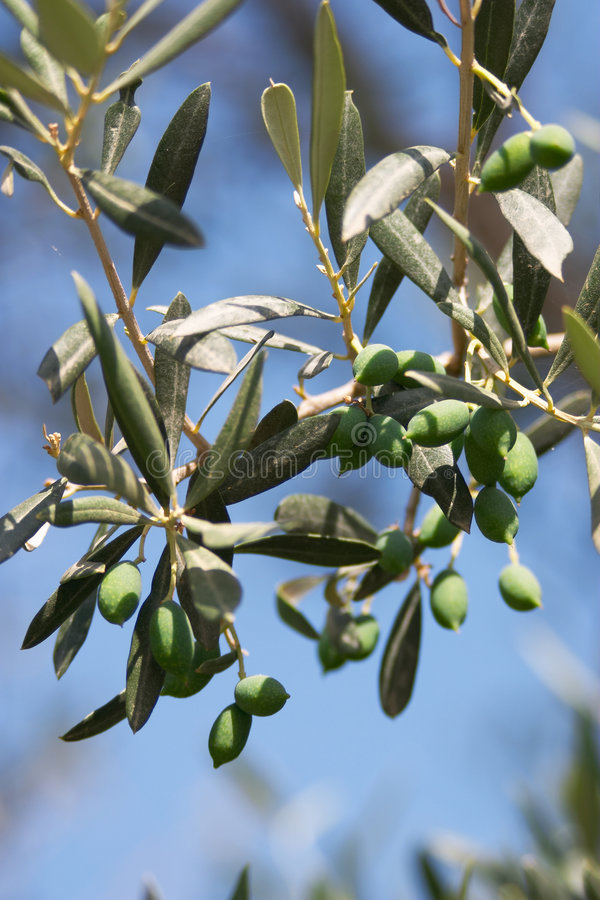 The olive branch royalty free stock photography