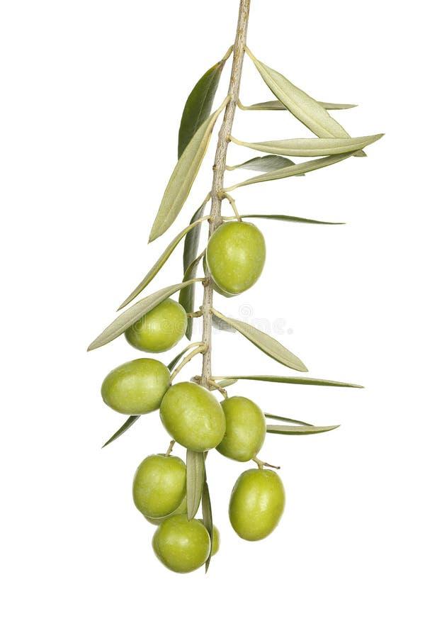 Olive Branch imágenes de archivo libres de regalías