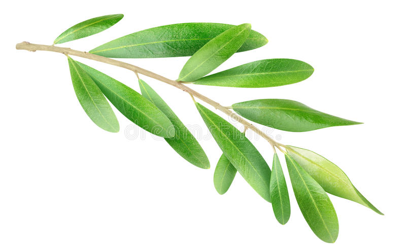 Olive Branch image stock