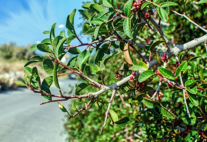 Olive Branch stock foto