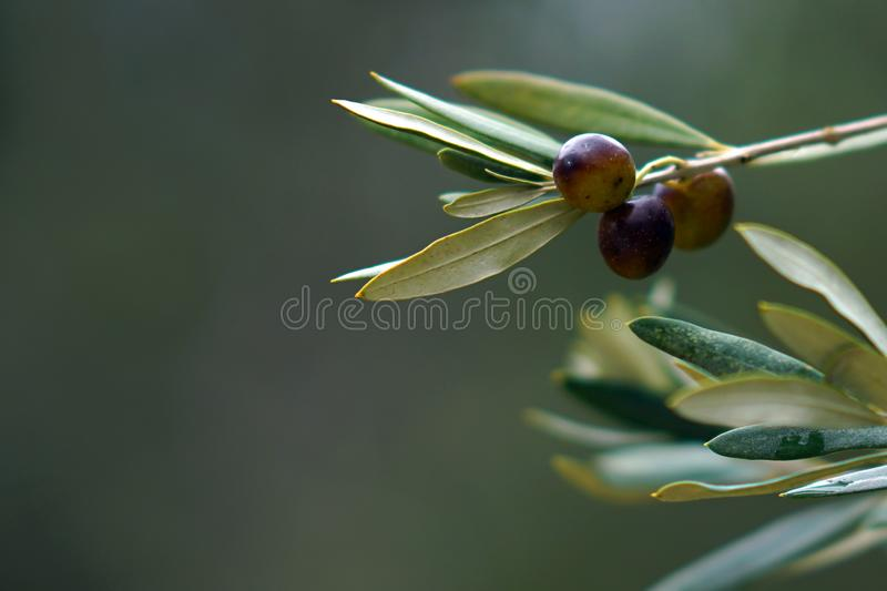 Olive branch with black olives , detail. Olive branch with black olives in Crete, travel, fruit, backgrounds, tree, season, brown, day, summer, sunny, eating stock image