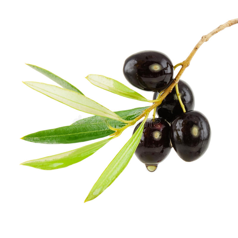 Olive branch with drop of oil royalty free stock photo