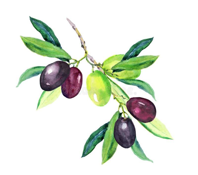 Olive branch - green, black olives. Watercolor royalty free illustration