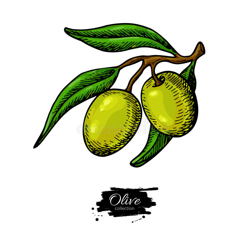 Olive branch. Hand drawn vector illustration. Isolated drawing on white background. Colorful plant with green fruits vector illustration