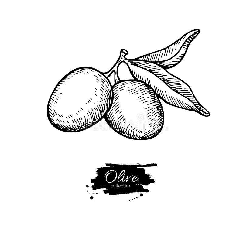 Olive branch. Hand drawn vector illustration. Isolated drawing on white background. Engraved plant. With fruits and leaves. Great for oil label design, icon royalty free illustration