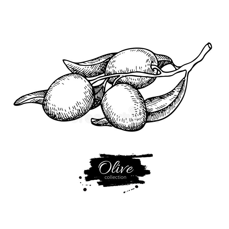Olive branch. Hand drawn vector illustration. Isolated drawing on white background. Engraved plant stock illustration