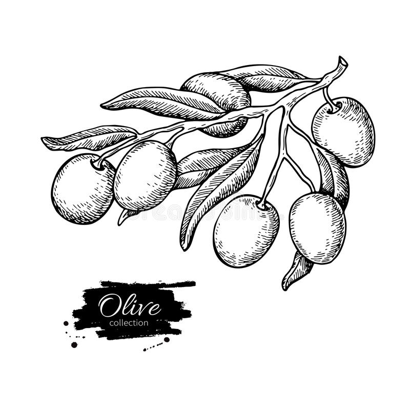 Olive branch. Hand drawn vector illustration. Isolated drawing on white background. Engraved plant. With fruits and leaves. Great for oil label design, icon stock illustration