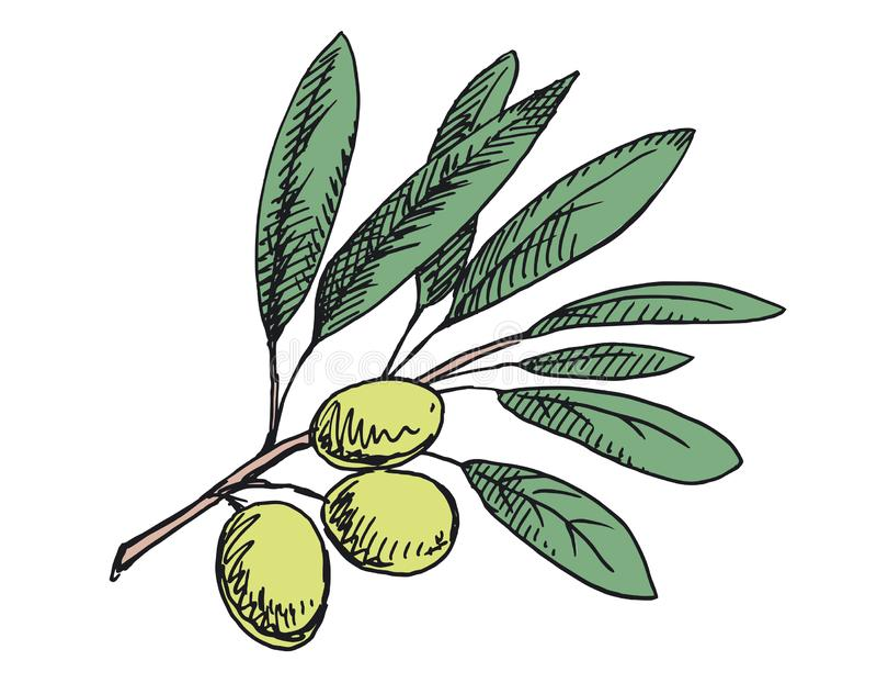 Olive branch illustration. Colored version stock photo