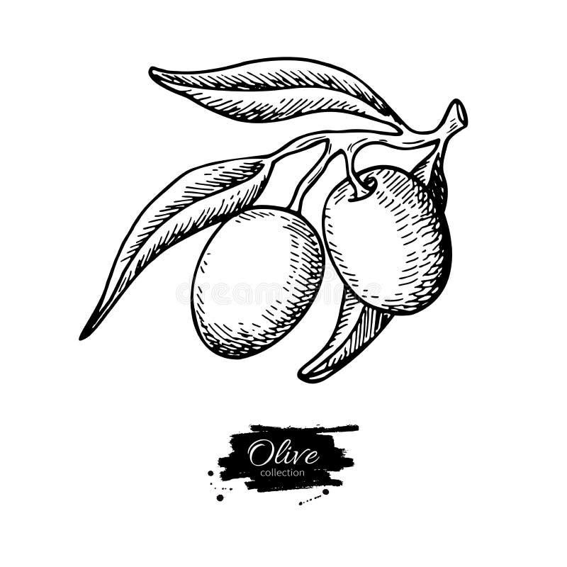Olive Branch Ilustração desenhada mão do vetor Desenho isolado no fundo branco Planta gravada ilustração stock