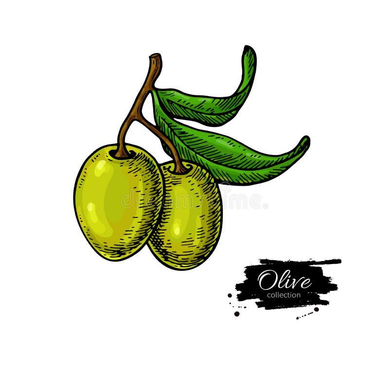 Olive Branch Ilustración drenada mano del vector Dibujo aislado en el fondo blanco Planta colorida con las frutas verdes ilustración del vector