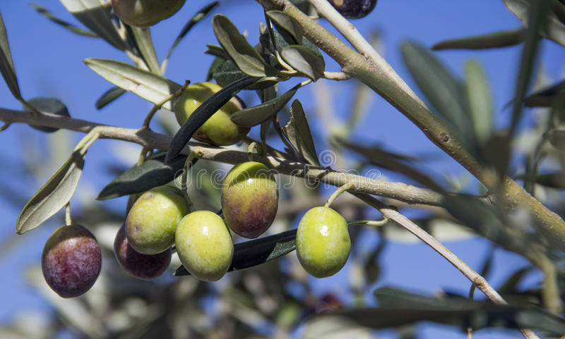 Olive on branch. Isolated in blue sky background stock images