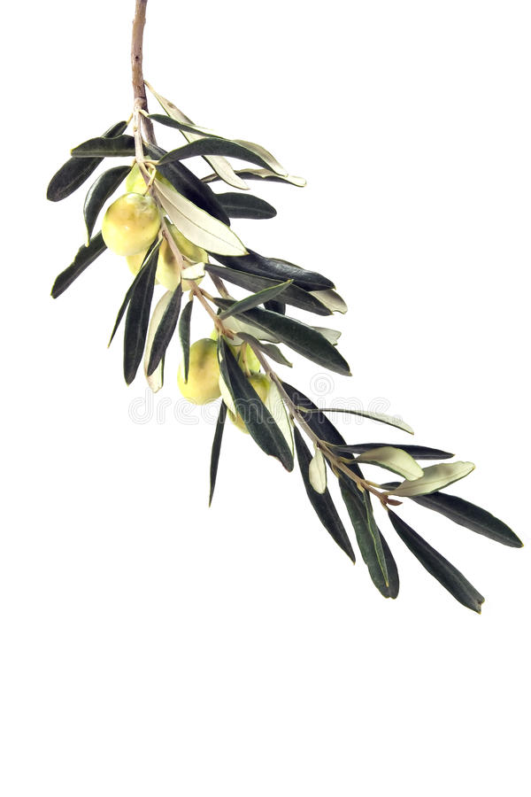 Olive Branch Leaf. Fresh green Olive Branch Leaf on isolated white royalty free stock photos