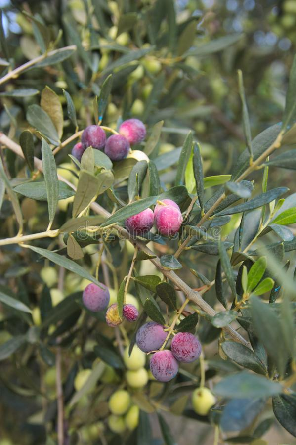 An olive branch with ripe fruits. Olive branch with its fruits, olives in different degrees of ripening in early autumn, growth, valencia, spain, greece royalty free stock images