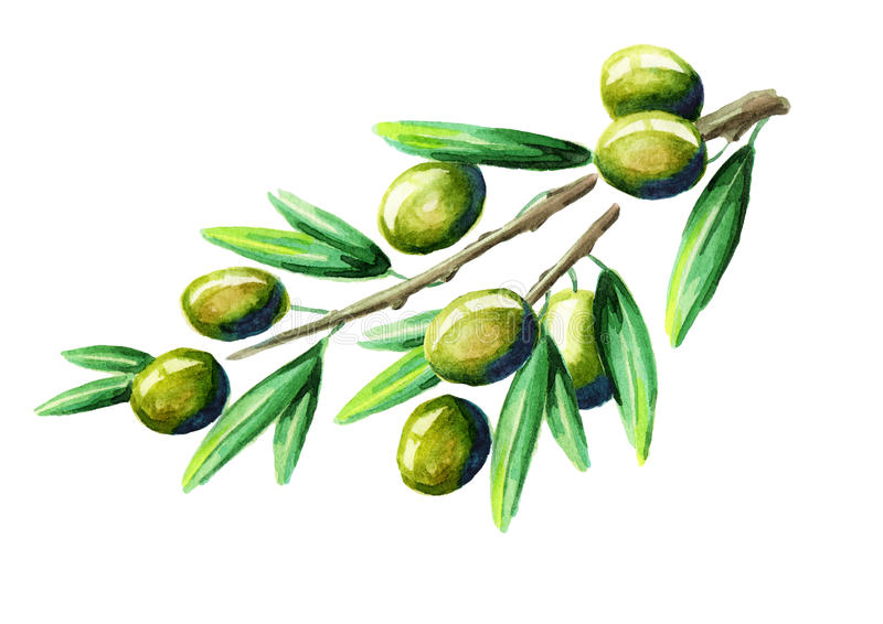 Olive branch. Watercolor stock illustration