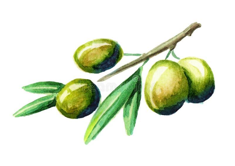 Olive branch. Watercolor vector illustration