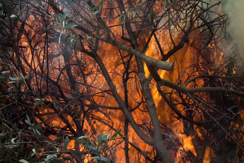 Olive branches and fire. Large fire burning olive branches after pruning stock photos