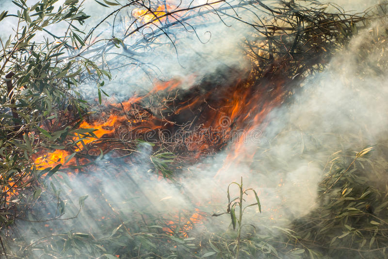 Olive branches and fire. Large fire burning olive branches after pruning royalty free stock photography