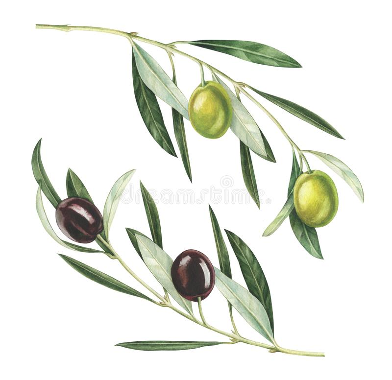 Watercolor olive branches isolated on white background. Olive branches isolated on white background. Hand drawn watercolor illustration stock illustration