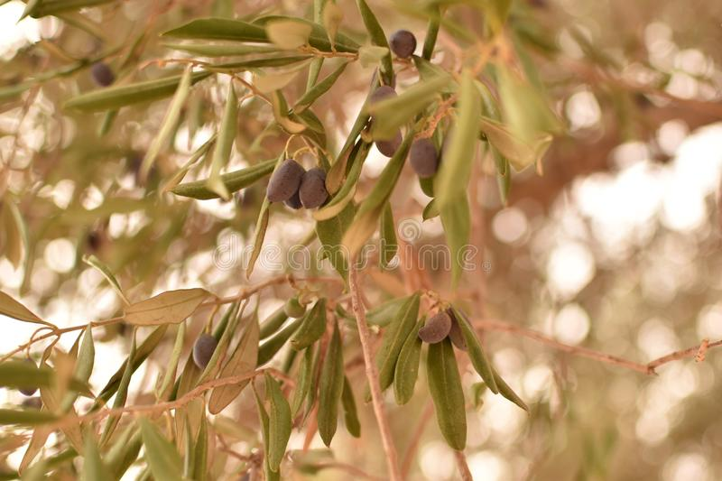 Olive Branches royalty free stock photo